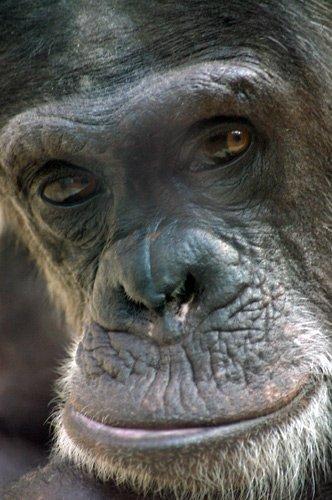 chimpanze.jpg