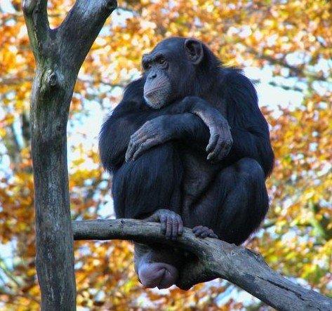 chimpanze14.jpg